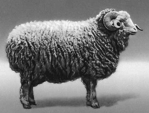 Georgian Sheep Failing to Compete Due to High Prices