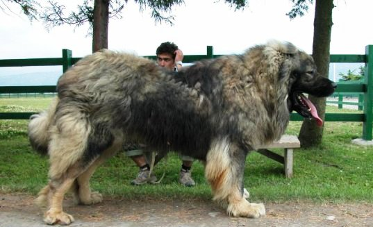 Caucasian shepherd VS Tibetan Mastiff - Who would win in a ...