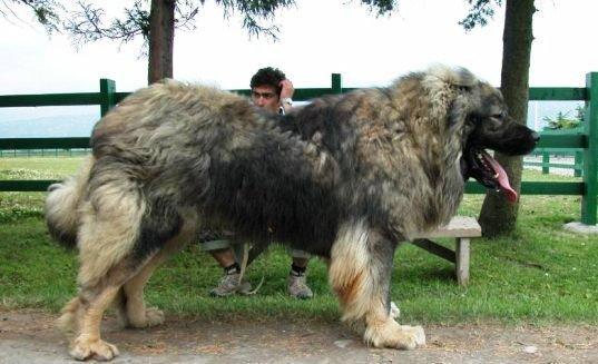 Caucasian shepherd VS Tibetan Mastiff - Who would win in a ...
