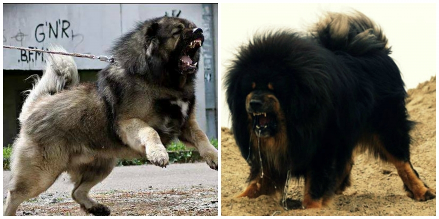 caucasian shepherd vs tibetan mastiff who would win in a