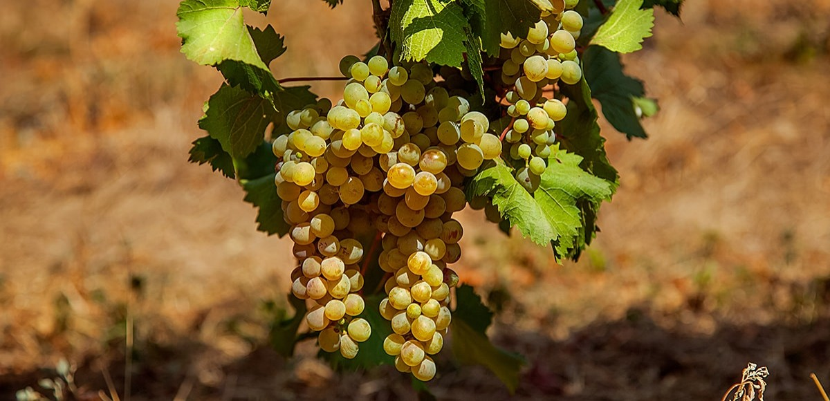 The rarest Georgian vine varieties